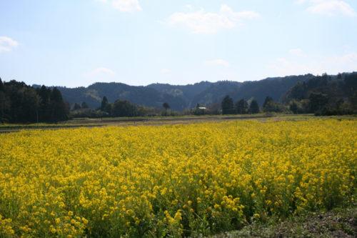 油菜花的盛開是从三月下旬两周左右